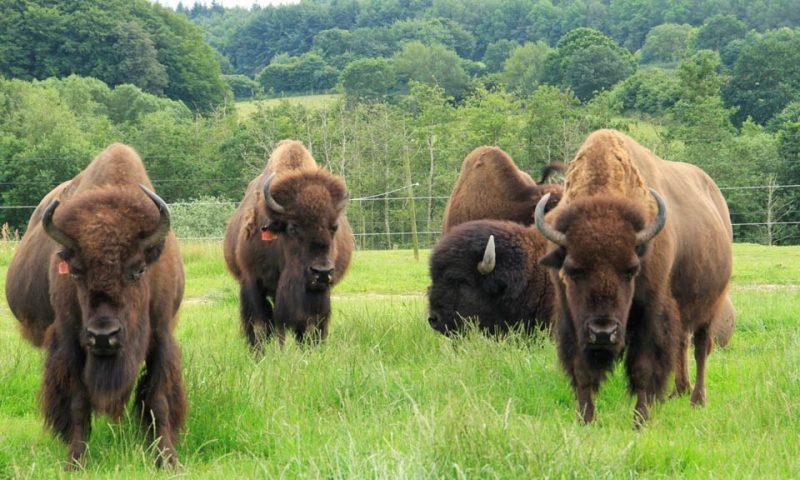 Foto: Ditlevsdal Bison Farm