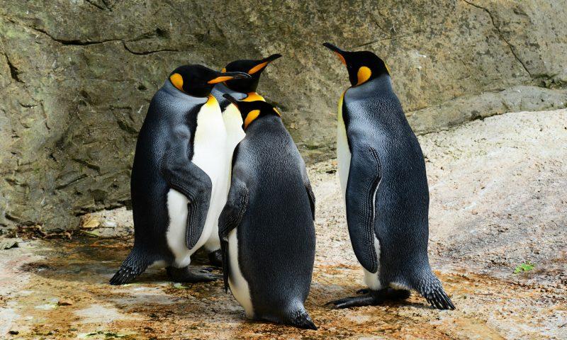 Arkivfoto: Pingviner