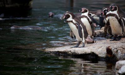 Arkivfoto af pingviner