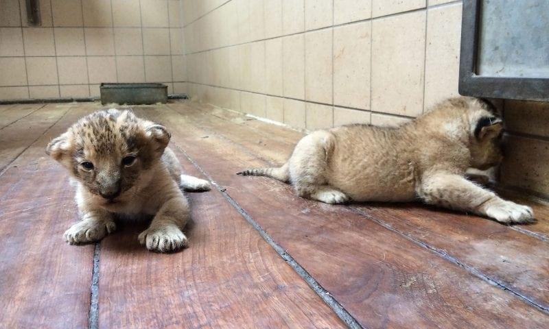 OBS - billedet er arkivfoto af løveunger i Aalborg Zoo i sommer